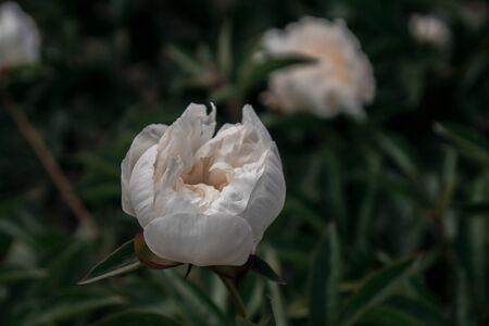 beautiful spring decorative dahlias. one flower bud closeup.