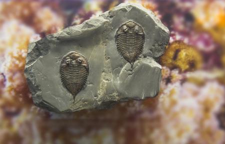 limestone: fossil trilobite imprint in the sediment. 3.6 Billion Year old Trilobite.