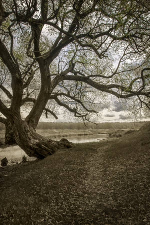 The old big branched tree on the river bank. Monochrome photo.