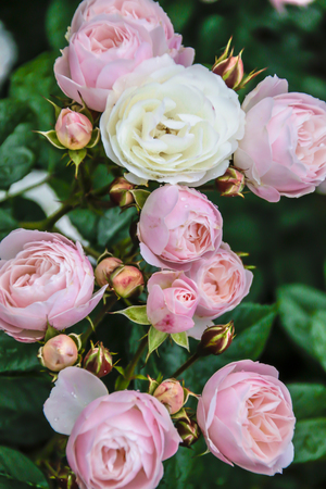 beautiful fresh rose close-up. a bouquet of roses and several flowers from roses.