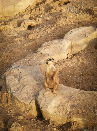 Portrait of a Meerkat Suricata suricatta, an African indigenous animal, a small carnivore belonging to the mongoose family. Stock Photo