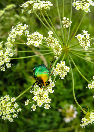 A beautiful green beetle, an insect sits on a large white flower of a poisonous plant Cic ta vir sa