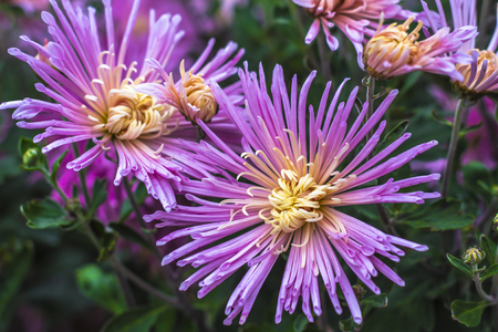 Natural background of bright purple chrysanthemums. Beautiful floral bouquet 免版税图像