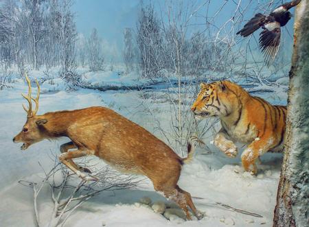 Strong Tiger attacks a frightened deer, attack Standard-Bild - 119018541