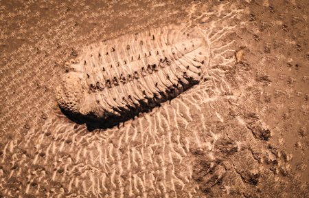 fossil trilobite imprint in the sediment. 3.6 Billion Year old Trilobite.