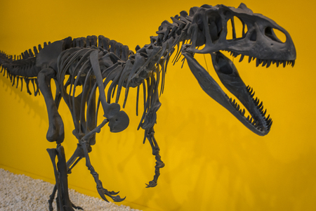 Skeleton of a prehistoric dinosaur, Allosaurus close-up.