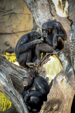 Family of chimpanzees resting on a tree. Stock Photo