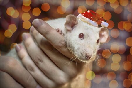 cute white domestic rat, symbol of the new 2020