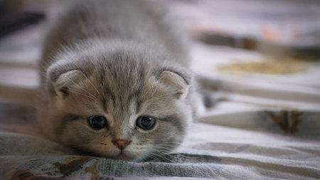 Cute six week old scottish kitten, kitten portrait