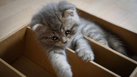 Cute six week old scottish kitten playing in paper box Фото со стока