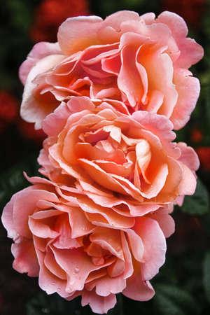beautiful delicate spring flower. flowers pink roses