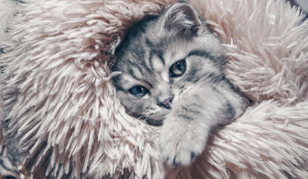 Cute Scottish cat, three month old kitten.