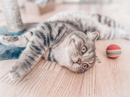 Cute scottish cat, beautiful domestic cat. Фото со стока