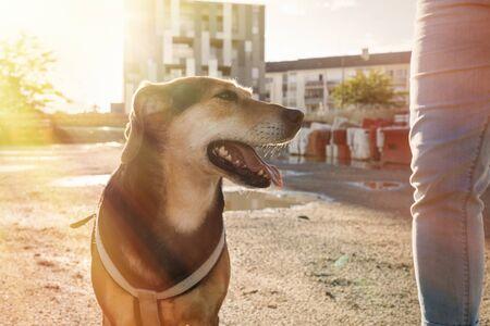 beagle dog walk on the street, sunlight, pet,