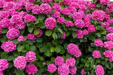 huge flower bed full of purple hydrangea flowers, pink hortensia Фото со стока - 150456629