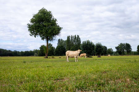 White cow in the field, cow raised for fattening, bovine originating in France, rustic cattle breed, landscape