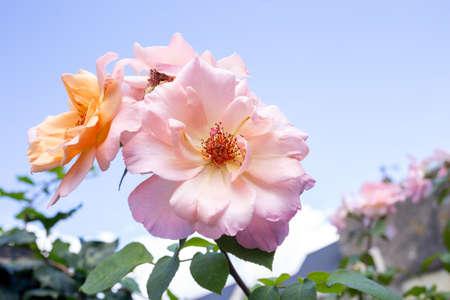 soft pink roses against blue sky. Garden flower, daylight Фото со стока
