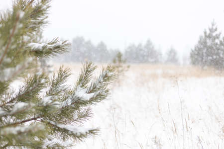 blurred winter background, with natural snowing, pine branch
