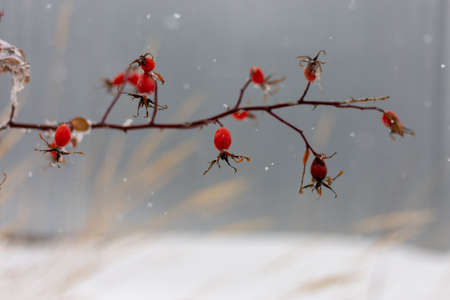 red rose hips with realistic snowflakes on blurred gray background
