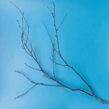 tree branch without leaves on a blue background, top view, flat lay Фото со стока