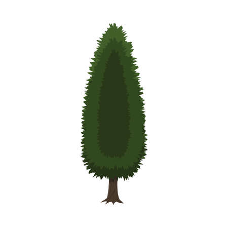 cypress tree: Cypress tree isolated on white. vector illustration in flat style