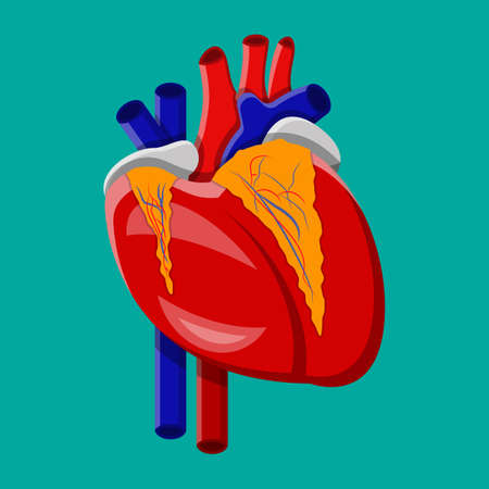 left atrium: Human heart. Internal organ.