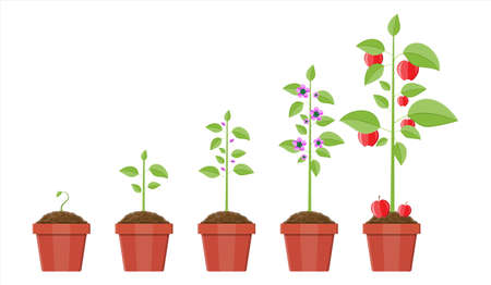 Growth of plant in pot, from sprout to fruit. Planting tree. Seedling gardening plant. Timeline. Vector illustration in flat style