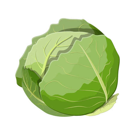 Fresh cabbage with green leaves