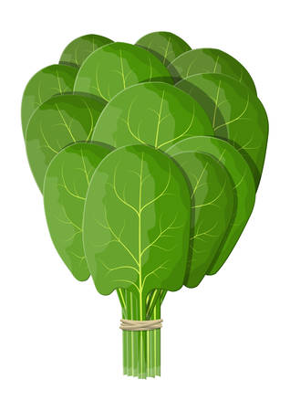 Bunch spinach leaves. Green raw spinach isolated on white. Salad vegetable. Organic healthy food. Vegetarian nutrition. Vector illustration in flat style