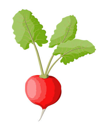 Radish with leaves isolated on white. Illustration