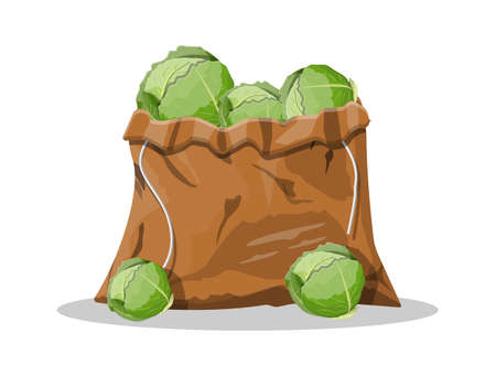 Fresh cabbage with green leaves in canvas bag. Cabbage isolated on white background. Organic healthy food. Vegetarian nutrition. Vector illustration in flat style
