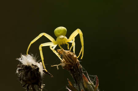 goldenrod spider: goldenrod granchio ragno sul fiore di retroilluminazione