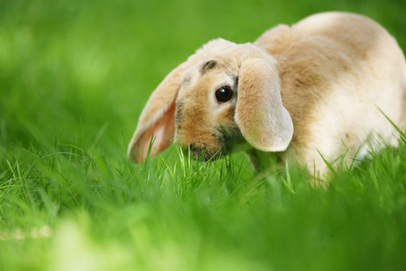 lop: Easter bunny - dwarf lop