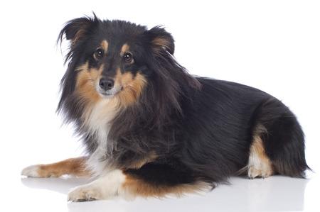 sheltie: Sheltie dog isolated on white