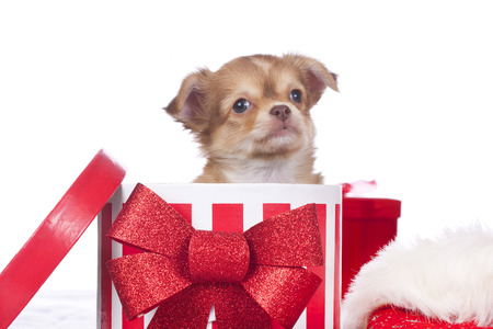 Chihuahua puppy in christmas box photo