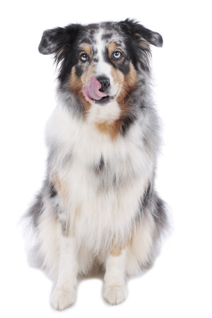 licking in isolated: Australian shepherd dog isolated licking Stock Photo