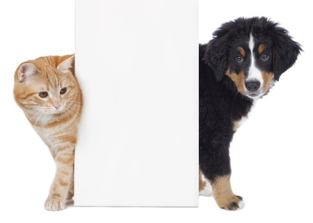 Cat and dog looking around a white board isolated