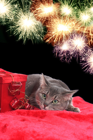 sylvester: Anxiouis cat with fireworks on sylvester