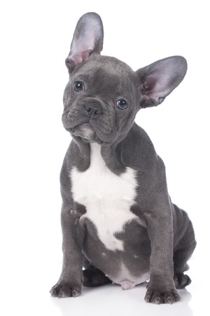 Cute french bulldog puppy isolated Imagens