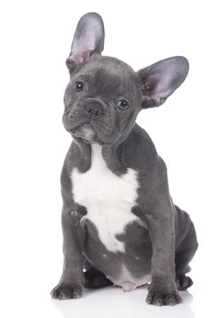 french bulldog puppy: Cute french bulldog puppy isolated Stock Photo