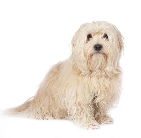 havanese: Havanese dog sitting on white isolated