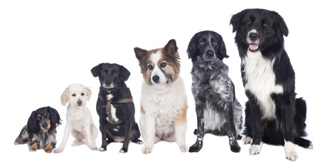 Group of six different mixed dogs isolated
