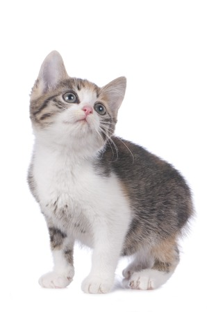 domestic: Cute domestic kitten isolated