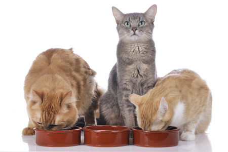 Three cats with food bowls isolated