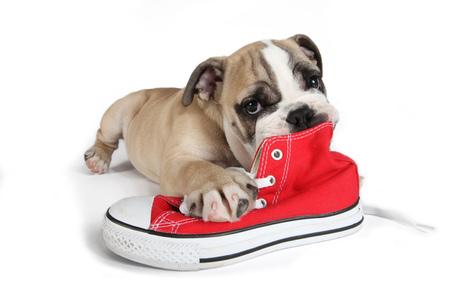 Cachorro bulldog Inglés lindo con el zapato de lona rojo