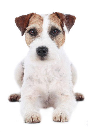 medium size: Parson russell terrier isolated