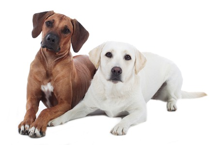 playmates: Rhodesian y golden retriever acostado juntos en blanco