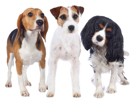 beagle terrier: Parson russell terrier, beagle and king charles spaniel isolated