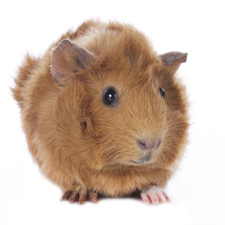 guinea pig: Guinea pig isolated