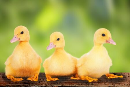 hatchling: cute ducklings on natural background Stock Photo